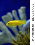 The Hummingbird Fish Cichlid In ...