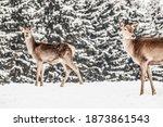 Roe Deer In Winter Snow