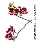 Small photo of Blooming beautiful deep purple with yellow bandlet orchid flower, phalaenopsis is isolated on white background