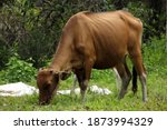 A Cow Eating Grass In The Meadow