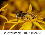Bumblebee Collects Pollen On A...