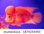 One Red Flowerhorn Cichlid Fish ...