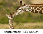 masai giraffe  giraffa...   Shutterstock . vector #187430024