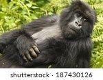 Mountain Gorilla  Gorilla...