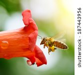 Honey Bee Collects Flower...