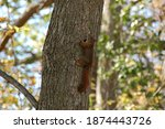 A Red Squirrel Climbing A Tree...