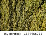 Thick Green Boxwood Plant...