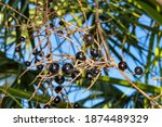 Small photo of Saw Palmetto (Serenoa repens) berries have long been used by Native Americans for its nutritional, diuretic, sedative, aphrodisiac, and cough-reducing properties.