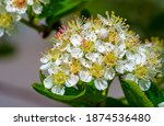 Hawthorn Flowers Are More Than...