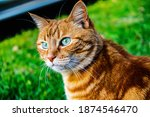 Orange Tiger Cat Outdoors...