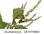 amaranth  green amaranth ... | Shutterstock . vector #187474883