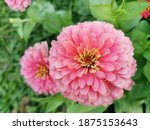 Zinnia  is  herbaceous  plant ...