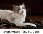 Fluffy Cat Plays. Bicolor Rag...