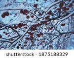 Red Berries On The Branches Of...