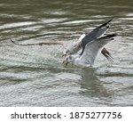 Two Laughing Gulls  Leucophaeus ...
