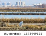 Side View Of Snowy Egret With...
