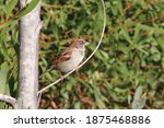 Cute Male Sparrow Perched On A...
