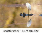 Snowy Egret Perched On A...
