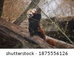 A Red Panda Reaching To Snack...