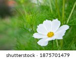 Summer Flowers White Cosmos...