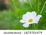 Summer Flowers White Cosmos...