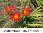 Group Of Three Scarlet Red And...