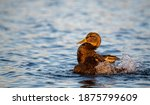 Brown Duck Waterfowl Splashing in Blue Lake Water Warm Lighting