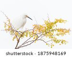 A Snowy Egret Rests With...