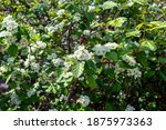 Close Up Of White Blossoms Of A ...