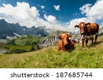 Cows On Alpine Meadow  In The...