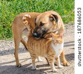 Stock photo friends brown dog and ginger cat together outdoor 187686053