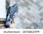 Pigeon Sitting On Wooden Part...