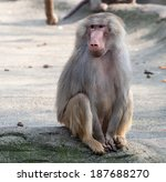 Female Hamadryas Baboon Monkey...