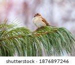 Sparrow Sits On A Cedar Branch...