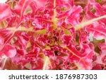 fresh organic green oak lettuce ... | Shutterstock . vector #1876987303