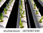 fresh organic green oak lettuce ... | Shutterstock . vector #1876987330