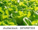 fresh organic green oak lettuce ... | Shutterstock . vector #1876987333