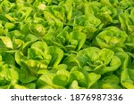 fresh organic green oak lettuce ... | Shutterstock . vector #1876987336