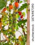 fresh lot of tomato hanging ... | Shutterstock . vector #1876987390