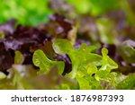 fresh organic green oak lettuce ... | Shutterstock . vector #1876987393
