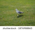 Seagull Walks On Green Grass