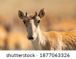 Portrait Of Young Male Saiga...