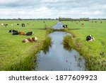 A Herd Of Cows In A Meadow With ...