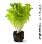 Lettuce Seedlings On The Whit...