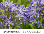 Flowers Of Ther Agapanthus...