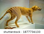 Small photo of Thylacine (Tasmanian Tiger) - Australia