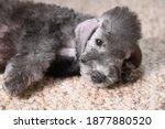 Little Bedlington Terrier Puppy ...