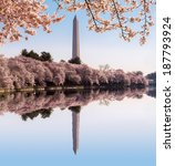 Cherry Blossoms Frame The...
