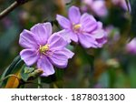 Purple Flowers Of The...
