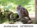 Small photo of male Hazel Grouse, Bonasia bonasia